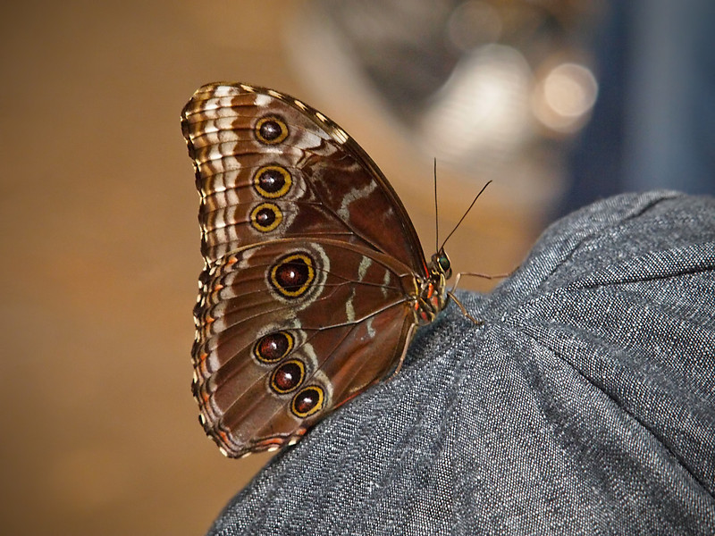 Blue Morpho at Butterfly Jungle - 16 Apr 2011