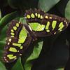 Malachite at Butterfly Jungle - 24 Apr 2010