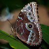 Blue Morpho at Butterfly Jungle - 4 Apr 2014