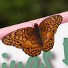 Variegated Fritillary at Butterfly Jungle - 24 Apr 2010
