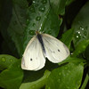 Cabbage White at Butterfly Jungle - 24 Apr 2010