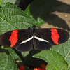 Red Postman (H. Melpomene) at Butterfly Jungle - 24 Apr 2010