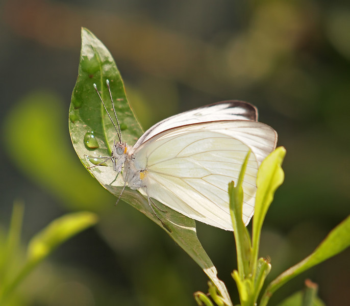 Great Southern White at Pavilion of Wings - 7 Aug 2011