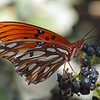 Gulf Fritillary (male) at Pavilion of Wings - 22 Aug 2010