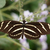 Zebra Longwing at Pavilion of Wings - 2 June 2012
