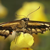 Anise Swallowtail at Pavilion of Wings - 2 June 2012