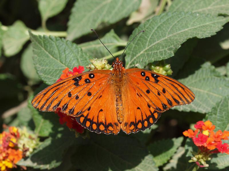 Gulf Fritillary (male) at Pavilion of Wings - 27 June 2010