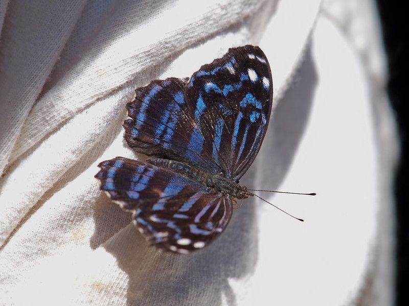 Mexican Bluewing (male) at Pavilion of Wings - 15 May 2011