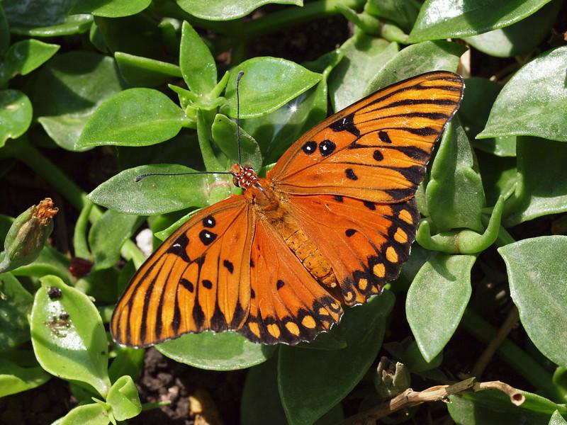 Gulf Fritillary (female) at Pavilion of Wings - 27 June 2010