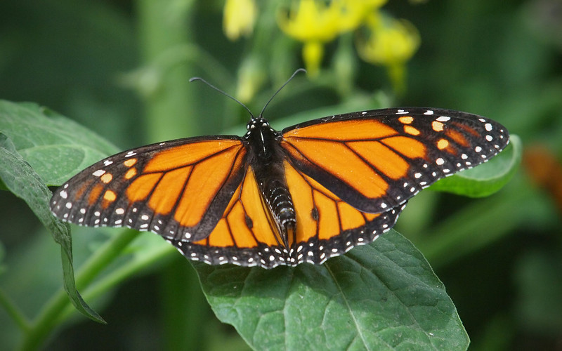 Monarch at Pavilion of Wings - 2 June 2012