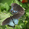 Pipevine Swallowtail & Black Swallowtail at Pavilion of Wings - 2 June 2012