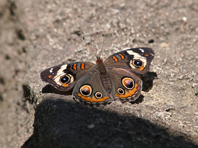 Common Buckeye at Pavilion of Wings - 15 May 2011