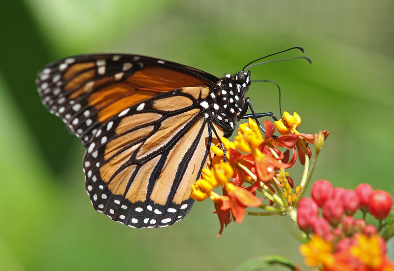 Monarch at Pavilion of Wings - 15 May 2011