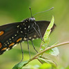 Pipevine Swallowtail at Pavilion of Wings - 2 June 2012