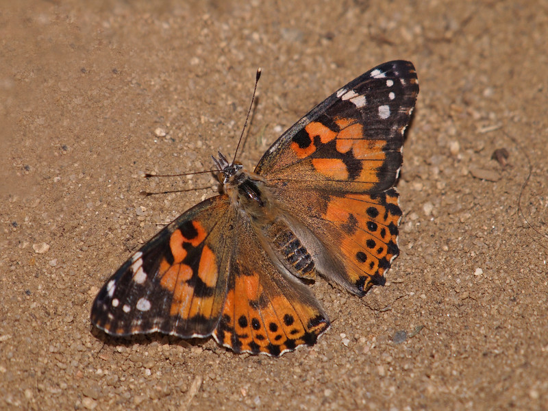 Painted Lady at Pavilion of Wings - 7 Aug 2011