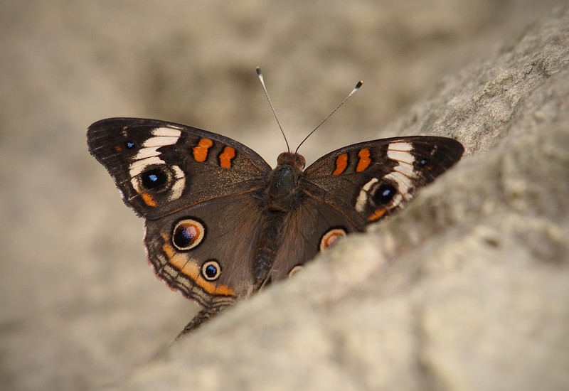 Common Buckeye at Pavilion of Wings - 2 June 2012