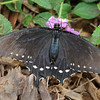 Pipevine Swallowtail (female) at Pavilion of Wings - 2 June 2012