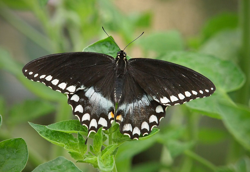 Spicebush Swallowtail (male) at Pavilion of Wings - 2 June 2012