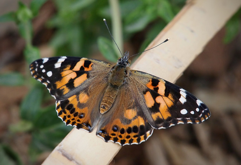 Painted Lady at Pavilion of Wings - 2 June 2012