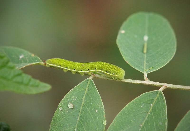 Caterpillar at Pavilion of Wings - 2 June 2012