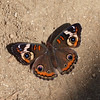 Common Buckeye at Pavilion of Wings - 27 June 2010