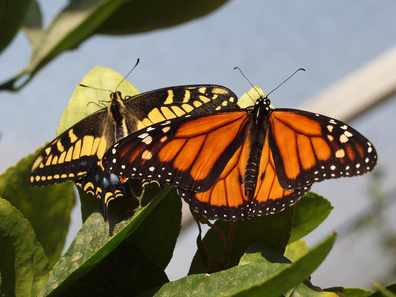 Monarch (male) and Anise Swallowtail at Pavilion of Wings - 27 June 2010