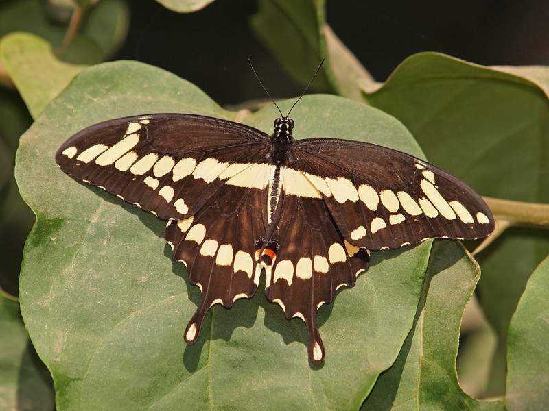 Giant Swallowtail at Pavilion of Wings - 7 Aug 2011