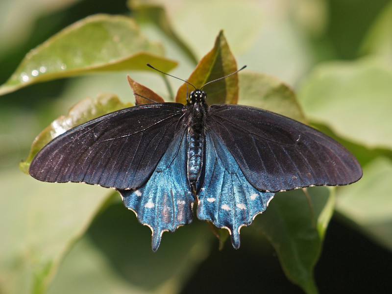 Pipevine Swallowtail (male) at Pavilion of Wings - 7 Aug 2011