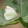 Great Southern White at Pavilion of Wings - 2 June 2012