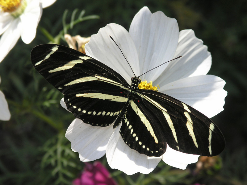 Zebra Longwing at Pavilion of Wings - 16 Apr 2005