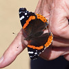 Red Admiral at Pavilion of Wings - 27 June 2010
