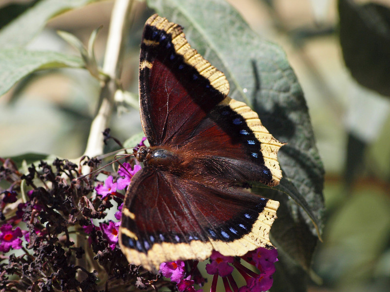 Mourning Cloak at Pavilion of Wings - 22 Aug 2010