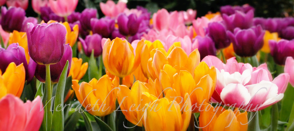 tulip pano