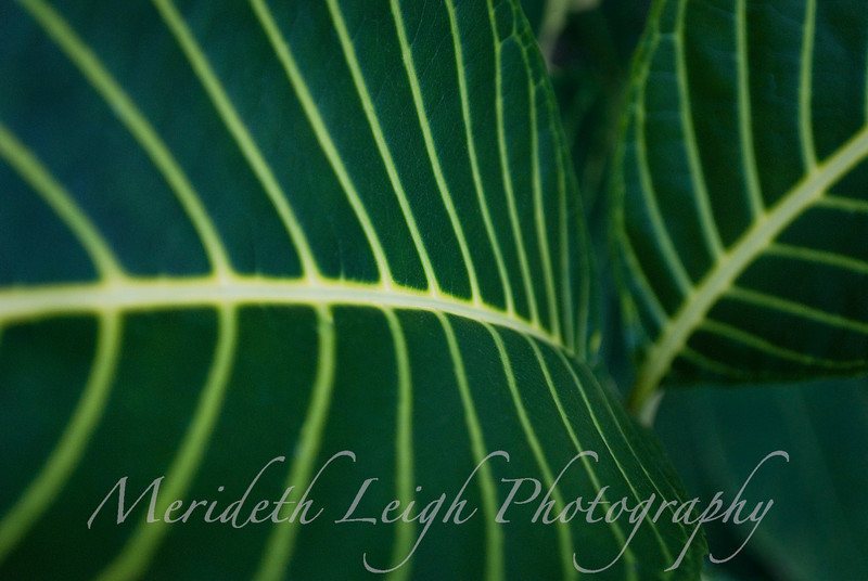 Ribbed Leaves