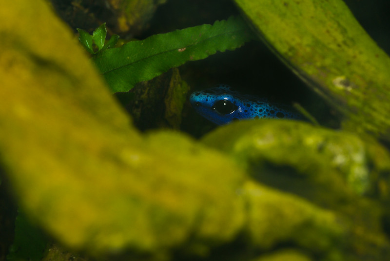 Tropical blue frog