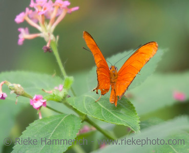 Julia Heliconian Butterfly Flying – Dryas iulia in a Butterfly House