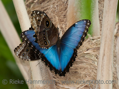 Blue Morpho Butterflies Mating on Reed – Morpho peleides in a Butterfly House