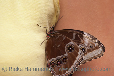 Blue Morpho Butterfly on Tank Top – Morpho peleides in a Butterfly House