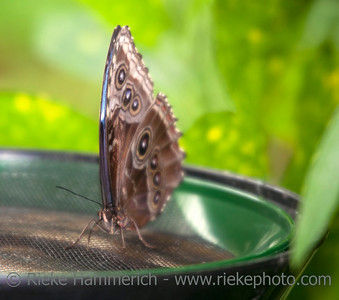 Blue Morpho Butterfly on Feeder – Morpho peleides in a Butterfly House