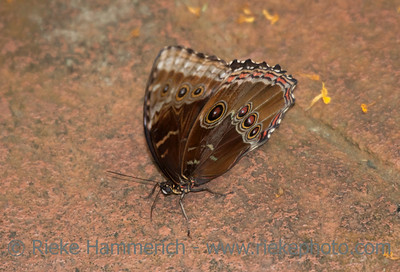 Blue Morpho Butterfly on Floor – Morpho peleides in a Butterfly House