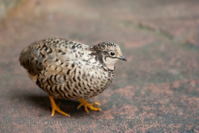 Quail Bird – In a Greenhouse