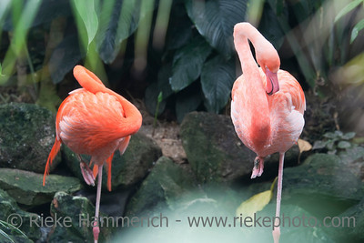 Two Caribbean Flamingos – Phoenicopterus ruber in a Greenhouse