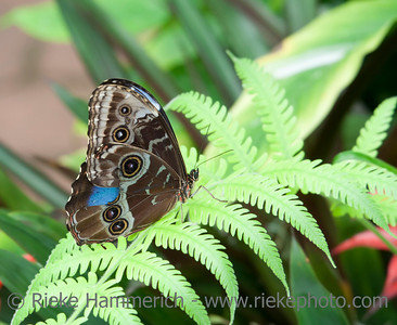 Blue Morpho Butterfly on Fern Leaf – Morpho peleides in a Butterfly House