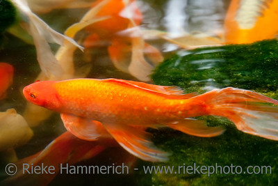 Koi Carps – Swimming in Pond