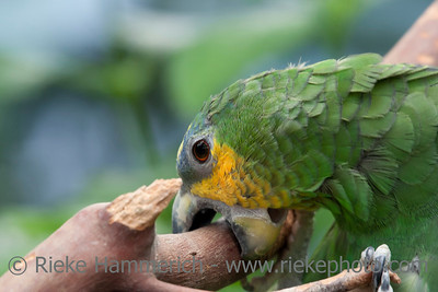 Orange-Winged Amazon Parrot Portrait- Amazona amazonica