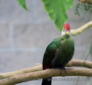 Turaco Bird on Branch – Tauraco erythrolophus in a Greenhouse