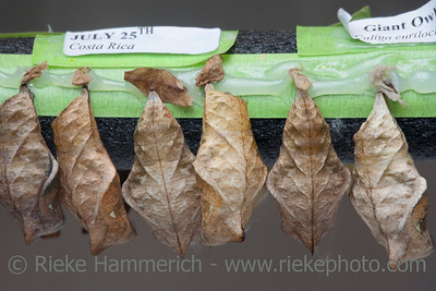 Pupa of Giant Owl Butterfly – Caligo eurilochus in the Life Stage from Caterpillar to Butterfly