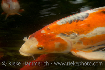 Koi Carp Portrait – Swimming in Pond