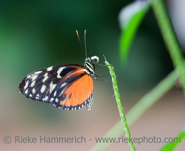 Golden Helicon on Blade of Grass – Heliconius Hecale in a Butterfly House