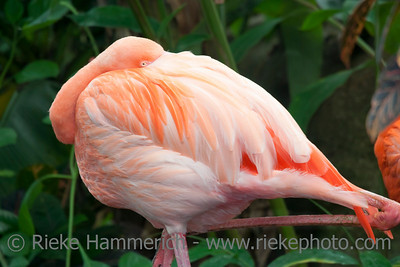 Pink Flamingo – Phoenicopterus ruber in a Greenhouse